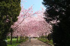 Cherry blossoms at Bispebjerg Kirkegård, Copenhagen spring by blogliebling.dk