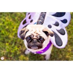 zanehollingsworth:Belle the puggerfly. An outtake from this...
