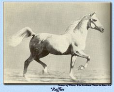 "Raffles (Skowronek x Rifala). ""...*Raffles created a dynasty of his own ~ his sons and daughters faithfully reproducing his classic type but with increased size. Like the other stallions at Selby's Stud, *Raffles was broke and trained to ride, and in 1933 he was named Three-Gaited Champion at the National Arabian Show in Nashville, Tennessee. His natural action was extremely high, and he could also perform five gaits when asked."""