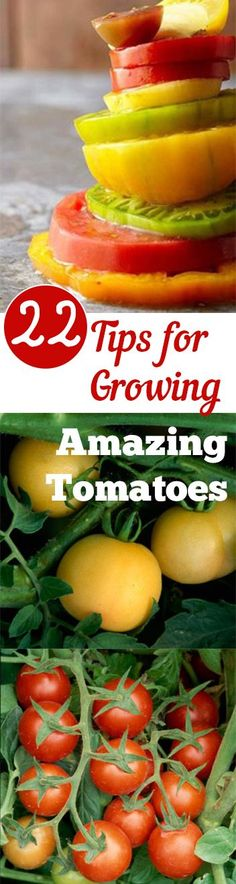 Growing Vegetables 22 Tips for Growing Amazing Tomatoes - 22 Amazing Tips for Growing Tomatoes- great tricks and ideas for your tomato garden Tips For Growing Tomatoes, Growing Veggies, Growing Plants, Grow Tomatoes, Dried Tomatoes, Hydroponic Gardening, Hydroponics, Organic Gardening, Gardening Tips