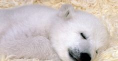 baby polar bears #dog #cat #bunny #hamster #panda #monkey #bird #turtle #horse #puppy #animals #nature #cute #love #catlover #doglover #pet #furry #kitten #adorable #precious #woof #cutie #bestfriend #family #meow  baby polar bears  #dog#cat#bunny#hamster#panda#monkey#bird#turtle#horse#puppy#animals#nature#cute#love#catlover#doglover#pet#furry#kitten#adorable#precious#woof#cutie#bestfriend#family#meow  Tears are the most true expressions that describe the sadness and pain that is within us…