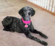 Lacy is an adoptable Standard Poodle Dog in Moscow Mills, MO. Lacy is a darling, 2 year old, Standard Poodle. She is sort of black and silver brindle. She came from a hoarder as a purebred, but I can'...