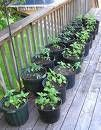 Veggie garden tips (gives measurements of pot sizes to plant different veggies in)