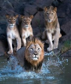 We all know house cats have a bit of a problem with water but this leading male doesn't seem to have any issue 💦🦁 Who loves a swim in these… Nature Animals, Animals And Pets, Cute Animals, African Animals, African Safari, Lion Family, Lion And Lioness, Affirmations Positives, Black Lion