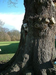 Westie up a tree. by John Uncle, via Flickr