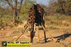 Home of Leopard.tv Wildlife Magazine, Shayamanzi wildlife ranch and wildlife music Tgif, Wilderness, Giraffe, Wildlife, Friday, Celebrities, Animals, Felt Giraffe, Celebs