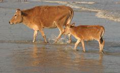 cow beach , India. Awwww even cows like the beach.