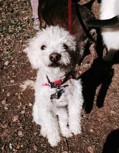 A happy Nut! Peanut Pictures, Mini Poodles, Poodle Mix, Life Photo, Dog Life, Happy, Dogs, Animals, Animales