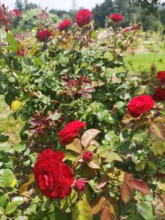 Rose, Plants, Pink, Plant, Roses, Planets