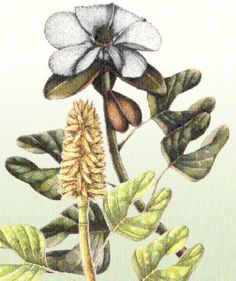 Illustration of Archaeanthus, a 100 million year old angiosperm.