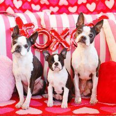Serez-vous Winnie's Valentine? Winnie a 14 semaines . Puppy Mix, New Puppy, Terrier Breeds, Terrier Puppies, Really Cute Dogs, I Love Dogs, Boston Terrier For Sale, Boston Terriers, Puppy Valentines