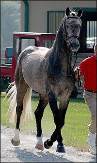 Dapple Grey Irish Draught Sport Horse Mare