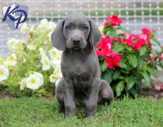 Keystone Puppies has a puppy finder feature setting you up to find and buy a dog perfect for your home. Weimaraner Puppies, Puppy Finder, Buy A Dog, Puppies For Sale, Labrador Retriever, Dogs, Animals, Labrador Retrievers, Animales