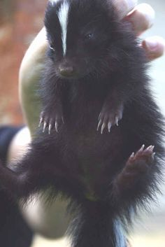 16 Baby Skunks Who Are Adorable - Buzzfeed