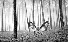 Wildlife Art Print Great Gray Owl Owl Flying by FineArtography