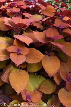 After last week's beautiful summer foliage post, I promised you another entry devoted entirely to coleus. I'm crazy 'bout coleus, and I think you will be too when you consider Read Hidden Garden, Garden S, Summer Garden, Garden Ideas, Graham Thomas Rose, Deer Resistant Annuals, Plant Companies, Potato Vines, Large Plants