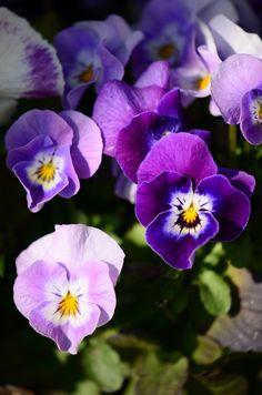 pansies..... always a great spring favorite