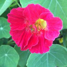 Instagram: tiahraph Cherry Rose Jewel nasturtium #botanicalinterests #nofilter