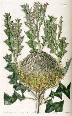 Banksia botanical (plate 1728) by Sarah Ann Drake (English, 1803–1857), from Edwards's Botanical Register, Volume 20, 1835. The plate shows Banksia speciosa, a then-undescribed species now known as Banksia baxteri