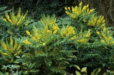 Mahonia japonica. Evergreen shrub with sprays of small yellow flowers from winter through to spring.