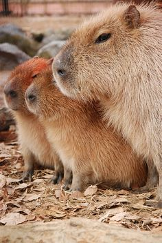 capybaras by capybara camera on Flickr  Chigüiros ( please stop eating them, they are endangered)