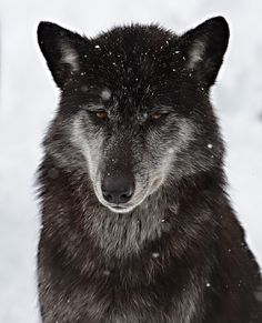 """he's not a dog. he's a wolf."" Must own a wolf-dog before I die Beautiful Creatures, Animals Beautiful, Cute Animals, Wild Animals, Baby Animals, Funny Animals, Wolf Spirit, My Spirit Animal, Wolf Pictures"