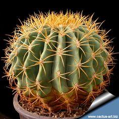Ferocactus glaucescens cactus y suculentas pinterest for Feroxcactus chile