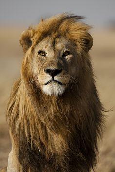 O olhar do leão.