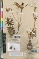 Pancratium tortuosum