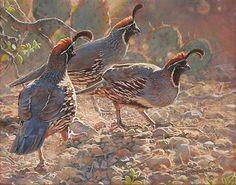 Gambels Quail by Bird Artist Kim Diment