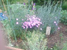 These pink flowers called Nadeshiko in Japan.