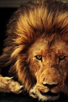 Lion. Be strong as a lion