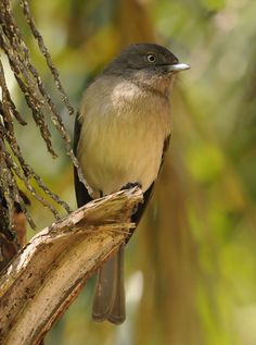 The Abyssinian slaty flycatcher is a species of bird in the family Muscicapidae, the Old World flycatchers. It is often placed in the genus Dioptrornis. It is native to Africa, where it occurs in Eritrea and Ethiopia.
