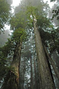 Redwoods and Fog - Redwoods National Park, California