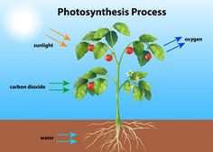 Photosynthesis Vectors, Photos and PSD files Horticulture, Nutrition In Plants, Plant Tissue, Photosynthesis, Study Notes, Biology, Vector Free, Clip Art, Science