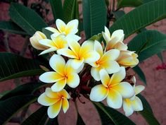 frangipani which are the sweetest smelling flowers