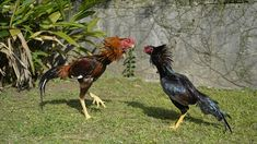 Agen Sabung Ayam Online - Clik Images for more information Live Casino, Animals, Image, Animales, Animaux, Animal, Animais