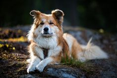 sample photos from Canon EF 85 mm Small Puppies, Small Dogs, Icelandic Sheepdog, Pet Dogs, Pets, Wild Dogs, Canon Ef, Small Dog Breeds, Jack Russell Terrier