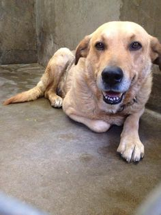 OWNER SURRENDER!! URGENT! Golden Retriever mix. Male 1-2 years old.  Jake is good with other dogs and kids. He is also terrified and shaking. Please Someone adopt or foster Jake!! He was just someone's pet and now he's sitting in the shelter and has no idea what happened! Kennel A1. Odessa TEXAS Animal control. https://www.facebook.com/speakingupforthosewhocant/photos/pcb.763595930331314/763595113664729/?type=1&theater