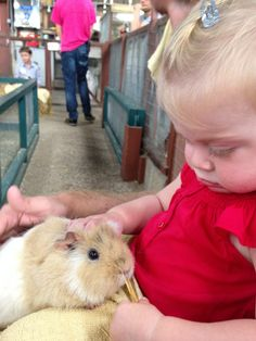 Meet and hold a Guinea Pig in the Animal Barn at Farmer Palmer's Farm Park in Poole. Kids days out in Dorset | UK