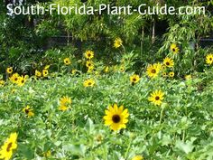 A charming sight in any landscape, beach sunflower - sometimes called beach daisy - blooms with bright yellow daisy-like blossoms. Read all about it!