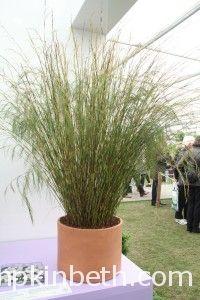 Restio tetraphyllus syn. Baloskion tetryphyllum 'Cornish Gold'