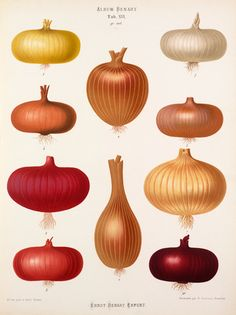 A chromolithograph plate of onion varieties taken from the Album Benary. The Album contains 28 colour plates of vegetable varieties by Ernst Benary which are named in the accompanying page in German, English, French and Russian. Vintage Botanical Prints, Botanical Drawings, Botanical Art, Vintage Prints, The Magic Faraway Tree, Art Du Collage, Vegetable Illustration, Illustration Botanique, Historia Natural