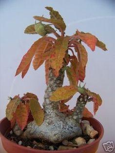 DORSTENIA elata rares plantes grasses caudex exotique Caudiciform Bonsai graines 100 graines