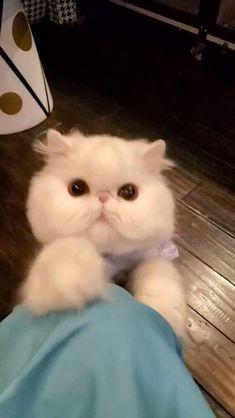 Cute Baby Cats, Cute Babies, Dog Cat, Pet Cats, Pets, Persian, Kitten, Vitamins, Animals