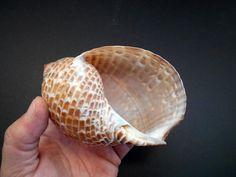 20Pcs Aquarium Mixed Bulk Sea Shells Beach Beautiful Decoration CF