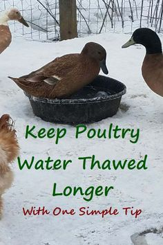 Keep poultry water thawed longer with this simple tip. You'll make water accessible longer without extra trips to the coop. via Life In The Wild Best Egg Laying Chickens, Raising Backyard Chickens, Keeping Chickens, Pet Chickens, Rabbits, Easy Chicken Coop, Portable Chicken Coop, Chicken Waterer, Chicken Garden