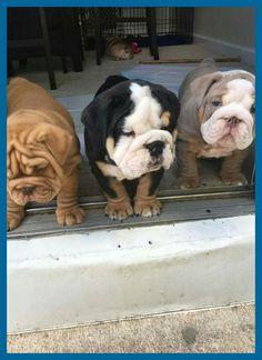 I Need All Of These Smushy Faces In My Life Ich Brauche All Diese Smushy Gesichter In Meinem Leben Bulldoglife Bulldoglo In 2020 Bulldogge Baby Welpen Welpenzucht