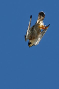 Peregrine Falcon - fastest diving bird in a dive ( stoop ) can reach speeds at over 200 miles per hour
