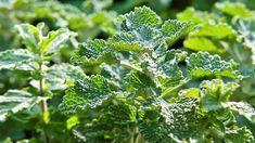 Jablečník obecný pomáhá zejména při problémech s trávením, posilováním přirozené imunity a je uznávaným domácím lékem proti kašli. Má příjemnou jablečnou vůni, zřetelnou zejména při rozetření listů mezi prsty. Persistent Cough, Fertility Problems, Tip Of The Day, Dry Leaf, Korn, Early Spring, Drought Tolerant, Pesto, Herbs
